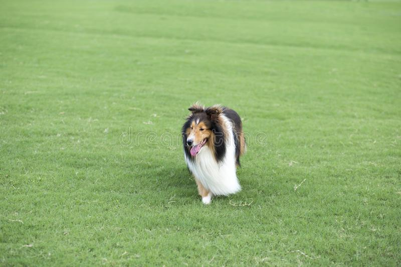 Собака чабана чабана стоковые фотографии rf