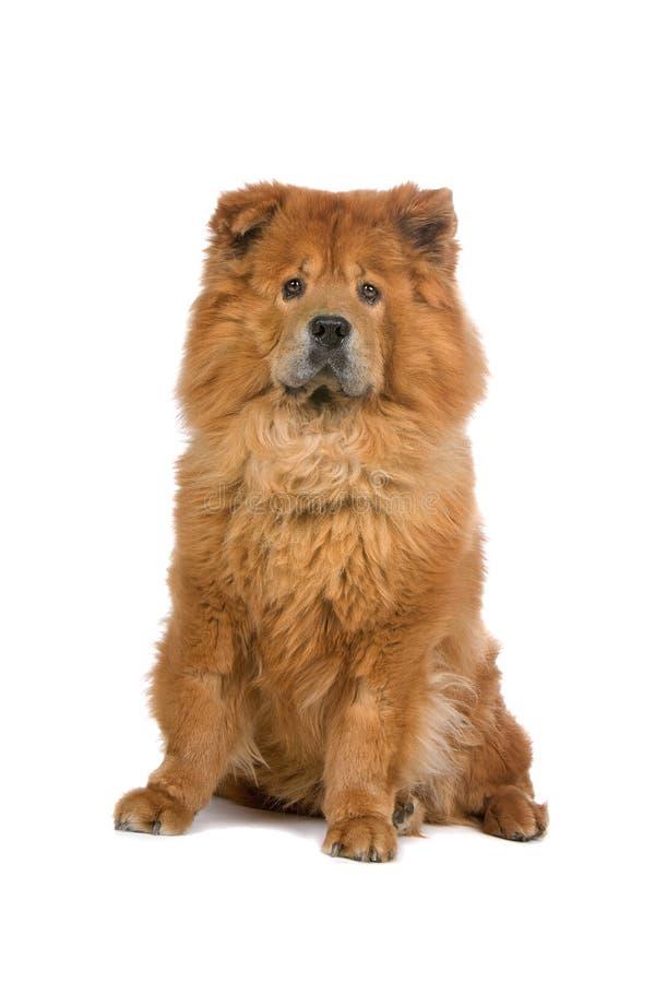 собака чау-чау стоковая фотография rf