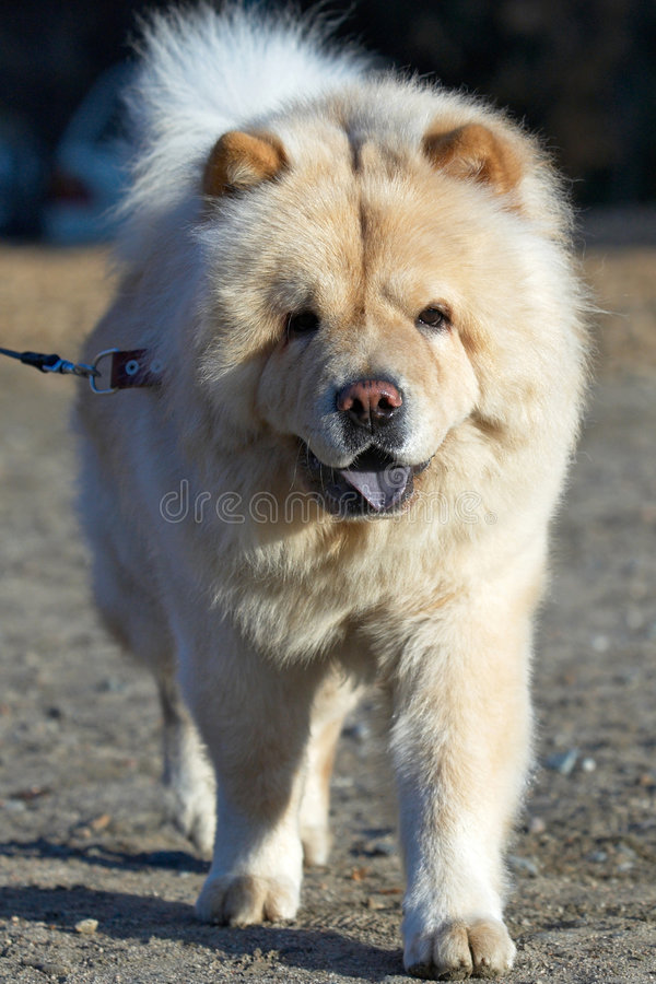 собака чау-чау стоковые фотографии rf