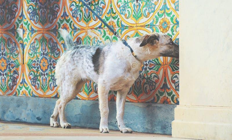 Собака черно-белого metisse щенка curioseful на красочных ornamen стоковые фотографии rf