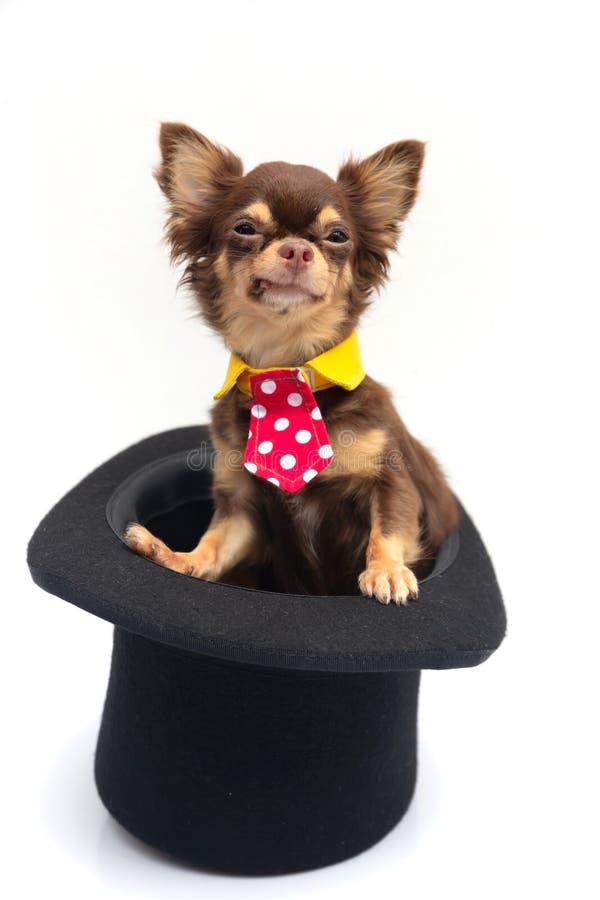 Собака чихуахуа в волшебной шляпе стоковое фото