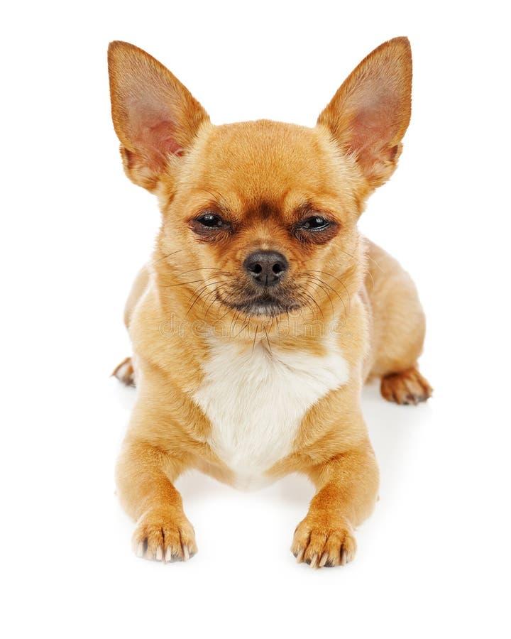Download Собака чихуахуа изолированная на белой предпосылке Стоковое Изображение - изображение насчитывающей друг, красно: 81814471