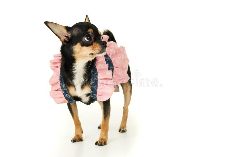 Download Собака чихуахуа стоя в изолированном платье Стоковое Изображение - изображение насчитывающей разведенными, mammal: 37929759