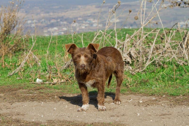 Собака шавки Брайна стоковые фото