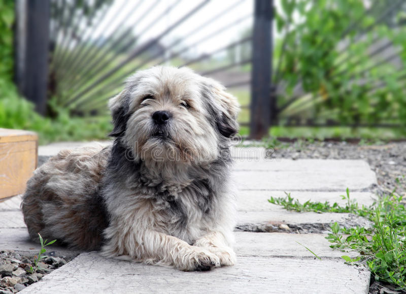 Собака шавки лежа в дворе дома, пробуренный и унылый стоковое фото