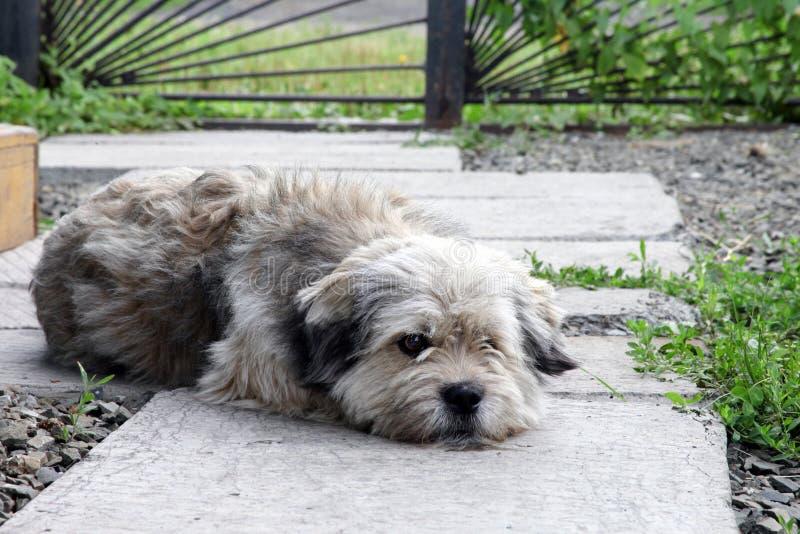 Собака шавки лежит в саде двора и унылый стоковая фотография rf