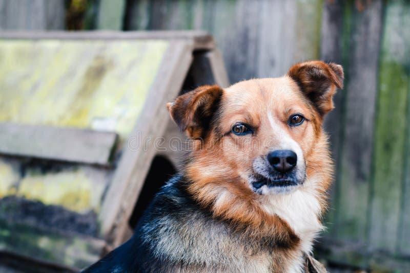 Собака шавки с коричневыми и черными шерстями на предпосылке старой деревянной загородки стоковые фото