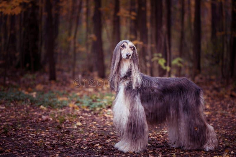 Собака, шикарная афганская борзая, без сокращений портрет, стоковые изображения