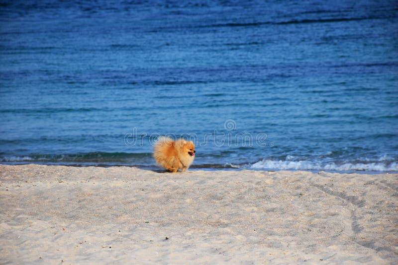 Собака шпица Pomeranian маленькая стоковое изображение