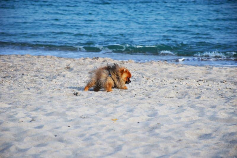 Собака шпица Pomeranian маленькая стоковая фотография