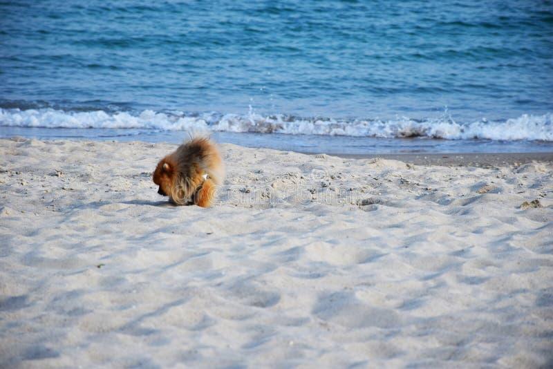 Собака шпица Pomeranian маленькая стоковое изображение rf