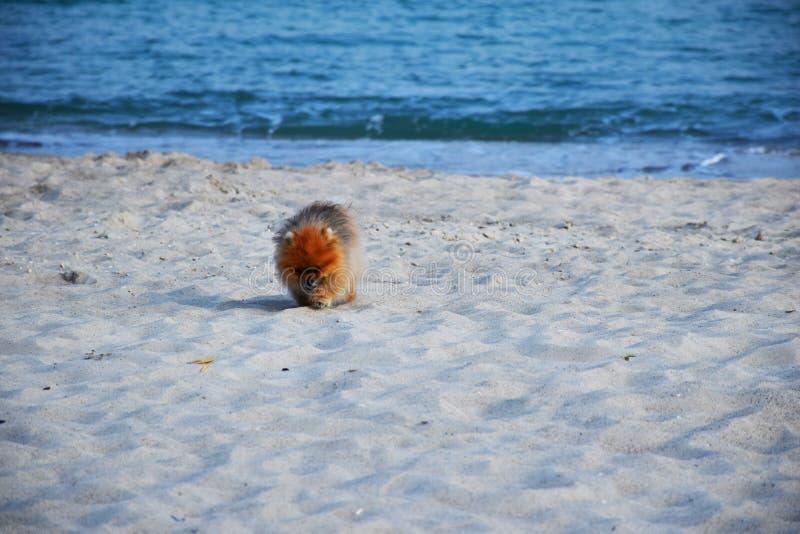 Собака шпица Pomeranian маленькая стоковое фото rf