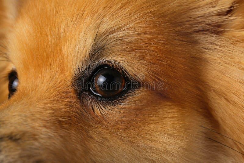 Собака шпица Pomeranian на коричневой предпосылке в студии стоковое фото
