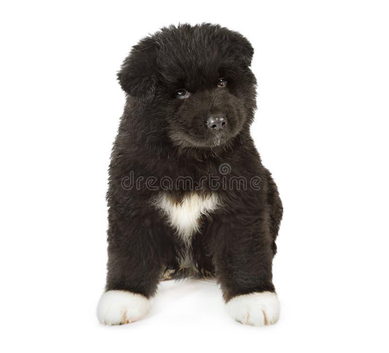 Собака щенка Акиты американца стоковая фотография