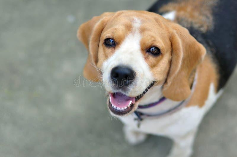 Собака щенка бигля портрета милая смотря вверх стоковое фото rf