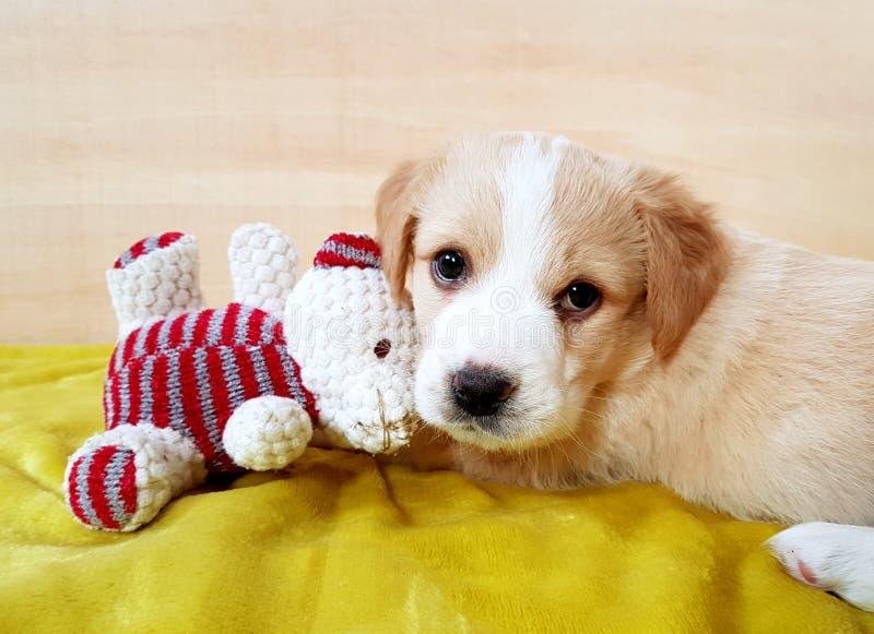 Собака щенка коричневая с плюшевым медвежонком стоковое изображение rf