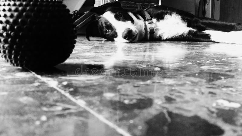 Собака щенка лежа вниз и пробуренный стоковое фото