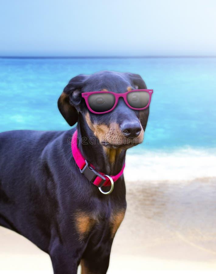 Собака щенка на пляже с солнечными очками стоковые изображения