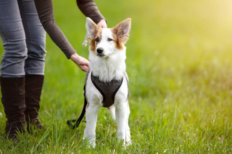 Собака щенка стоя на луге, поводок женщины или развязывает ее любимчика стоковая фотография