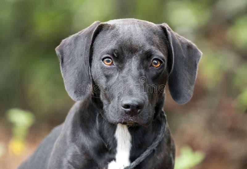 Собака щенка таксы бигля с неповоротливыми ушами стоковая фотография rf