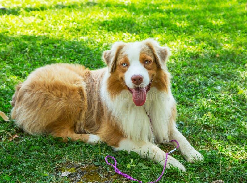 Собака щенка чабана прелестного красного австралийца голубых глазов merle австралийская лежа в снаружи травы стоковое изображение rf