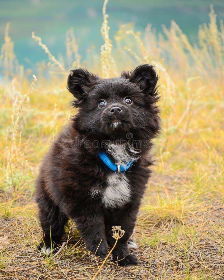 Собака щенка Papillon Outdoors стоковые изображения