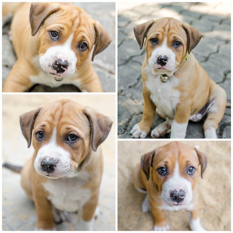 Собака щенка Pitbull стоковые изображения rf
