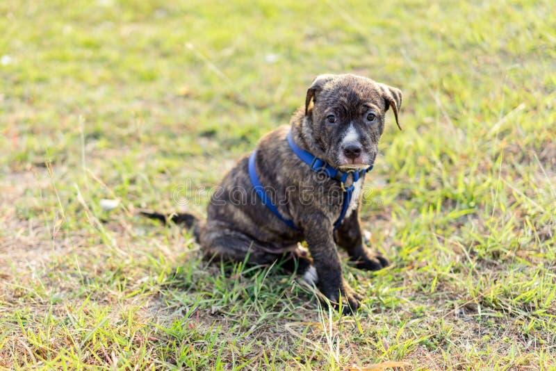 Собака щенка Pitbull стоковые фотографии rf