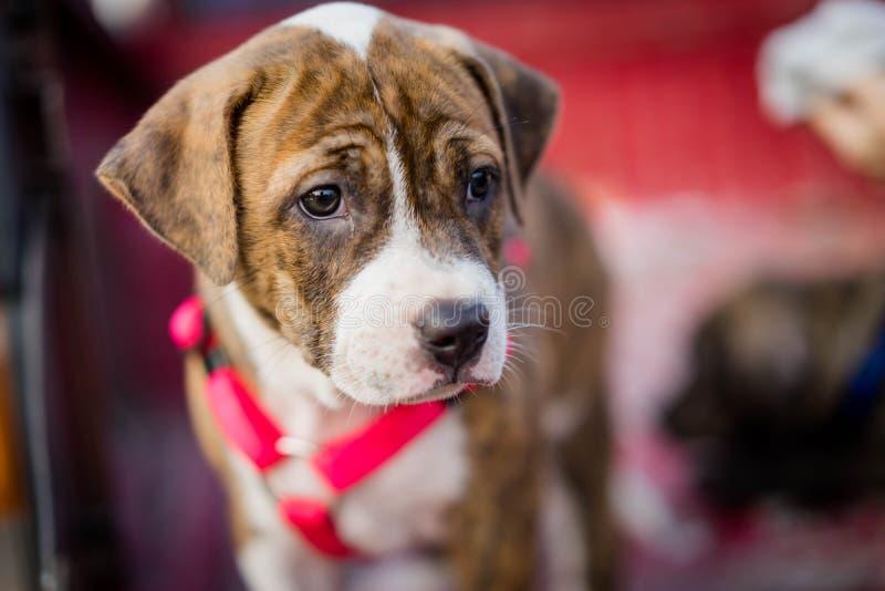 Собака щенка Pitbull стоковые изображения