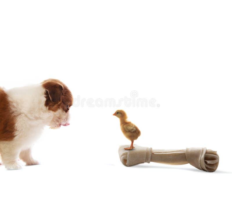 Собака щенка tzu shih младенца смотря к цыпленоку младенца стоя на artifi стоковые изображения