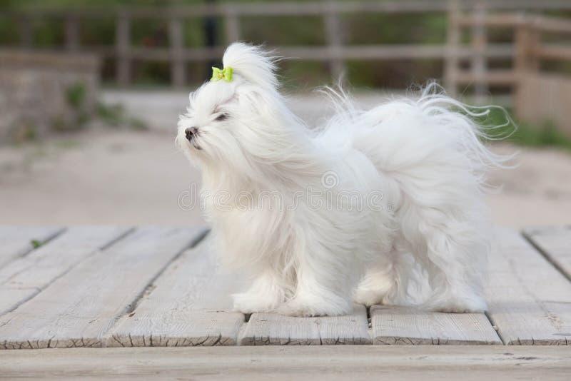 Собака любимчика мальтийсная стоковые изображения