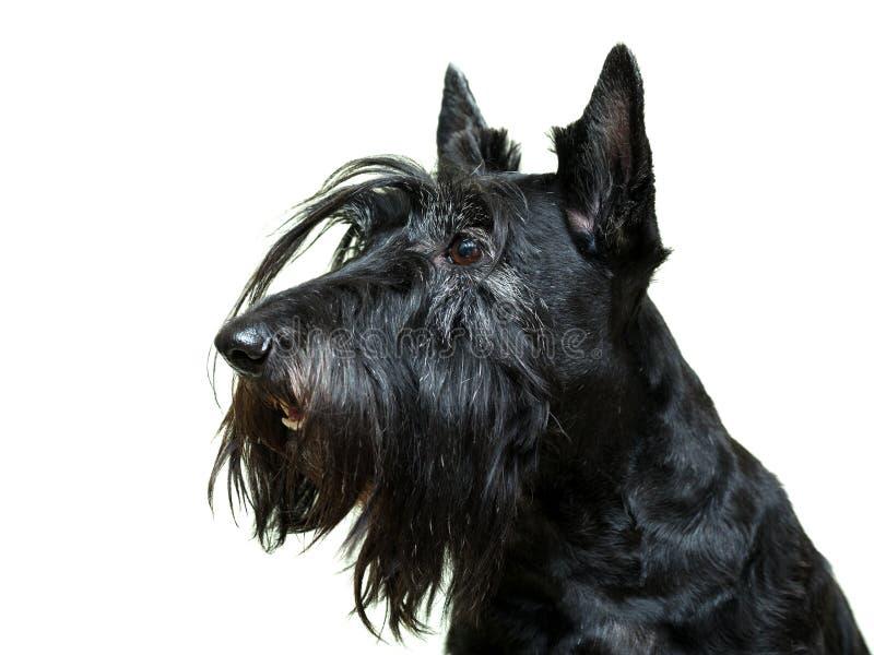 Собака Anomal на белом доме стоковые фотографии rf