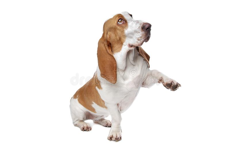 Download собака Basset держа вне лапку Стоковое Изображение - изображение насчитывающей басиста, одно: 18381543