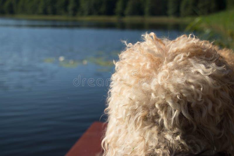 собака begie меховая против голубого неба и воды и зеленых леса и тростников стоковые фото