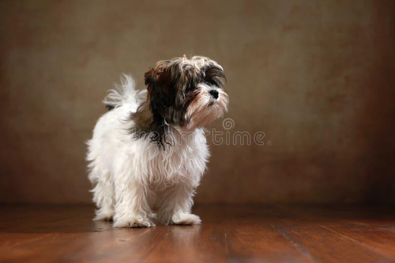 Собака Bolonka Zwetna стоковая фотография rf