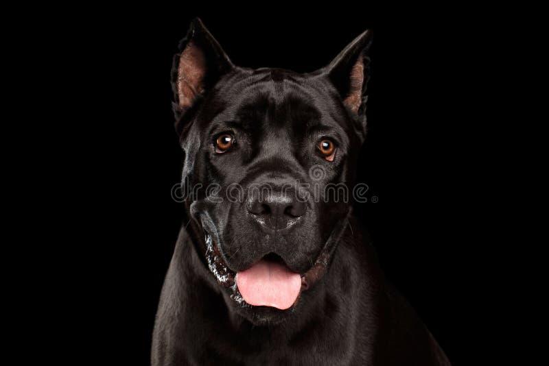 Собака Corso тросточки портрета на черноте стоковые изображения