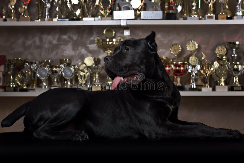 Собака Corso тросточки черная стоковая фотография