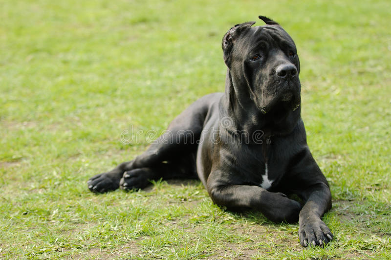 собака corso тросточки стоковая фотография rf