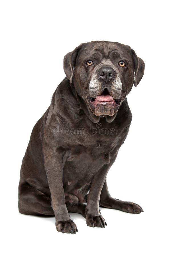 Собака corso тросточки стоковая фотография