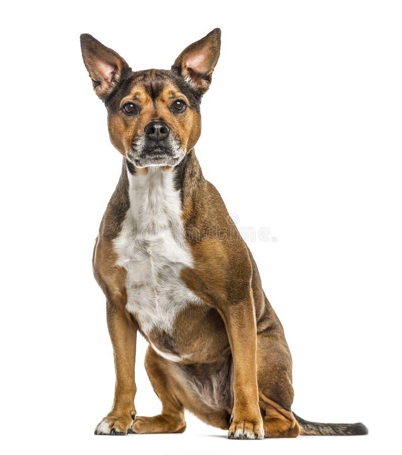 Собака Crossbreed изолированная на белизне стоковое фото