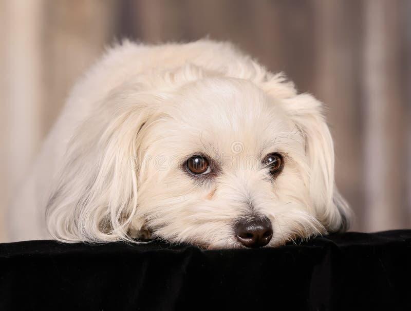 Download Собака de Tulear хлопка стоковое фото. изображение насчитывающей камера - 40582770