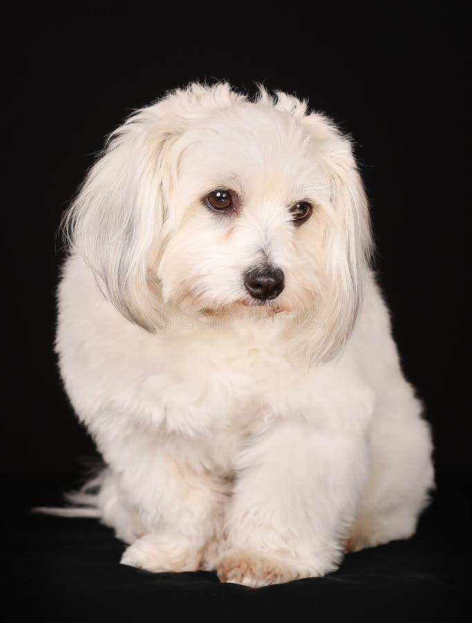 Download Собака de Tulear хлопка стоковое фото. изображение насчитывающей стоять - 40582826