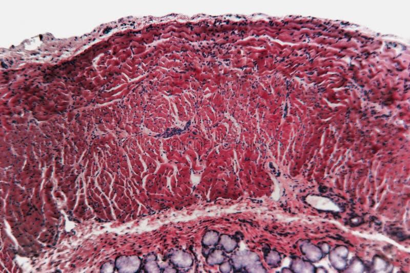 Собака esophagus клетки микробиологии стоковое фото