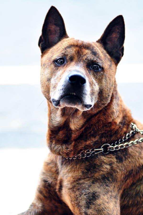 Собака Formosan горы стоковое изображение