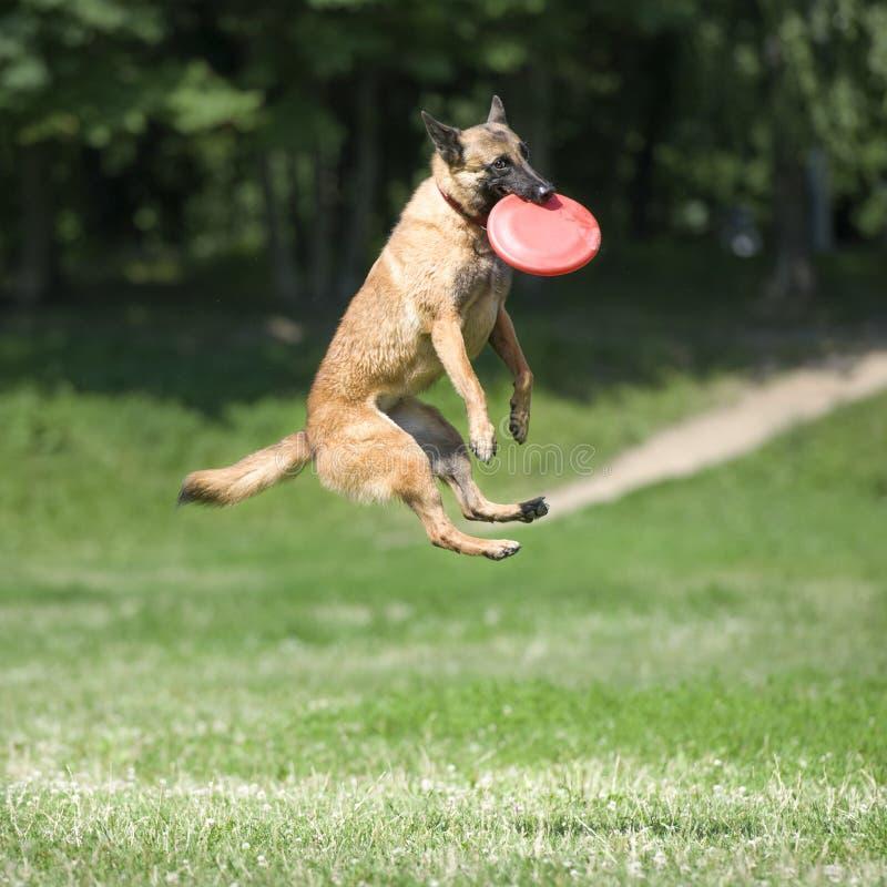 Собака Frisbee с диском летания в лете стоковое изображение rf
