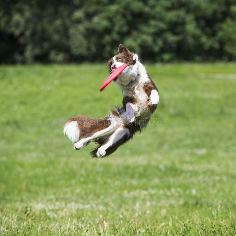 Собака Frisbee с диском летания в лете стоковые изображения