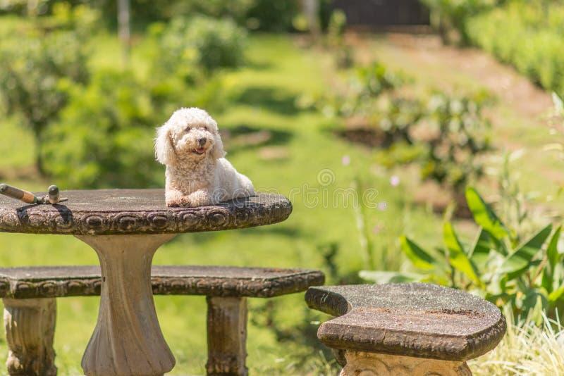 Собака frise Bichon стоковые фото