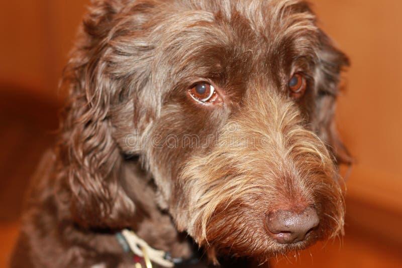 Собака Labradoodle стоковое изображение rf