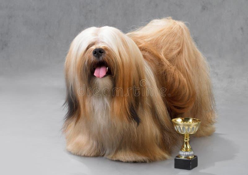 собака lhasa apso стоковые изображения rf