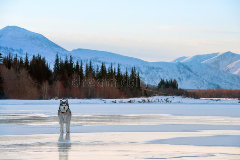 Собака Malamute идя на замороженное озеро Ландшафт зимы со снежными горами, деревьями и замороженным озером в Yakutia, Сибире, Ро стоковое изображение